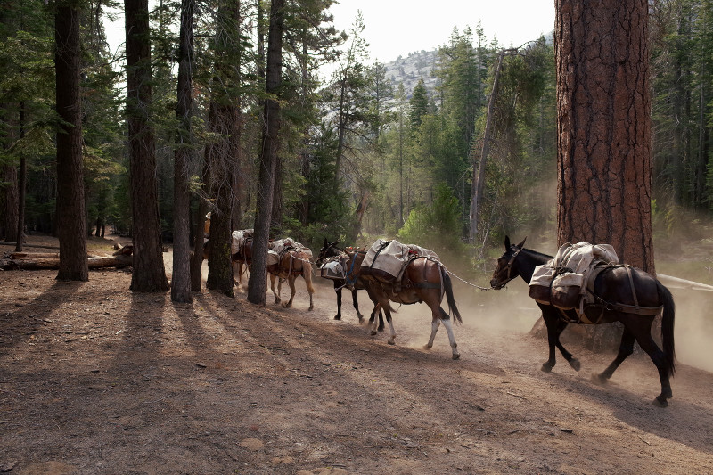 Mule train on the way to Merced Lake High Sierra Camp in Yosemite National Park